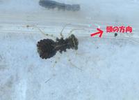 水槽で以下の生物を飼育しています。 ヒメダカ(15~16匹) コリドラス(1匹) タニシ(子供を産み2~30匹) 水草(マツモ、カボンバなど)  水槽の砂利を黒色の生物が動いていました。 メダカなどに悪影響を及ぼすといけないのでタモですくい10cmほどの水槽に移しました。 体長は10mm程で、かなりのスピードで歩きます。 又、ビックリなどした場合、団扇のような尾をドルフィンキ...