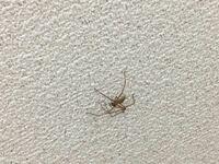 至急お願いします! 朝からこの雲 蜘蛛が部屋にいます。 意外に大きくてなかなか捕まえる勇気が出ません! 寝室の天井にいるので夜中降りてこないか怖くてたまりません。 どうしたらいいでしょうか。 種類わかる...