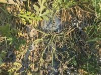 畑のスイカが根元から数日前から少しずつ枯れてきました。初めはネットで調べて、細菌感染かと思い、ベンレート水和剤2000倍の葉面散布。 次の日、マグネシウム欠乏の生理障害かと思い直してコーナンで光合成促進剤リッチベジタブル(アース製薬)を葉面散布。その次の日は、硫化マグネシウム500倍水溶液を葉面散布。また翌日、JAで相談。『枯れた葉は治らないけれど被害の拡大を止められる可能性があること、それ...
