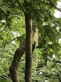 今日、家の裏の林でキツツキ?を見ました。 調べてみたのですが、頭が赤いしコゲラでもないような… ヒヨドリかと思うくらいの大きさ、色、柄だったのですが、なんという鳥かわかりますか? 家は横浜市内です。  リスも住み着くような林なので自然豊かなのですが、伐採されるそうです。 調べてもわからなかったので、もし珍しい鳥だとわかると阻止できるかなー、とも少し期待しています。  写真は見づ...