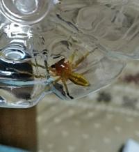 この蜘蛛は、カバキコマチグモでいいんでしょうか? わかる人は、教えて下さい