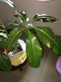 観葉植物の葉っぱが黒くなってきています。なぜでしょうか?また、なおし方を教えてください!!