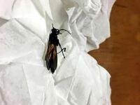 ベランダを開けたらでかい羽虫が入ってきました。キンチョールで仕留めたのですが、この虫はなんでしょうか? 体長4〜5センチ、飛んでいる姿は羽根が長いので一瞬トンボのようにも見えました。触角が長く、お尻に...