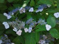 花の名前を教えてください。  場所岐阜県白川村近くの川原で、撮影日20170720,