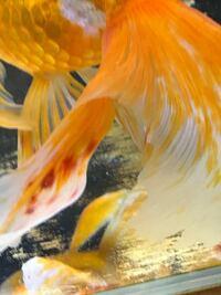 尾ひれに充血の様な病気らしいものが水が汚い時増えて居ますが教えてください。
