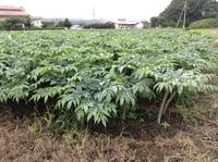 群馬県沼田市を旅行中、写真のような作物をよく見かけました。 これはなにを栽培しているのでしょう。