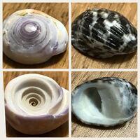 貝殻の種類について教えてください。 先日、小学校の夏休みの自由研究で貝殻を拾いました。 ネットや図鑑で名前を調べていたのですが、二つ解らず、詳しい方、教えて下さい。  二つとも直径は1.5〜2cm程度で、日本海側の浜辺や岩場で拾いました。