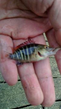 この魚の名前はなんでしょう?  九十九里片貝漁港近くの作田川下流で釣れました