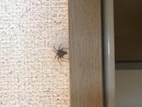 この蜘蛛がここで2~3日動かないんですがいったい何をしているんでしょうか? うちの家は小さい蜘蛛がたまに出ますが蜘蛛は益虫なので殺さないようにしています。でもここまで動かない蜘蛛はは じめてで、もし卵を産み付けられたらと思うとさすがに嫌でどうしようか悩んでいます。なにも被害がなければそっとしとくのですが