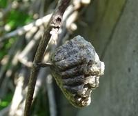 これはハチの巣の跡でしょうか?それともカマキリの巣の跡でしょうか?どなたか詳しい方、よろしくお願いします。