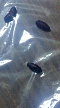 これはゴキブリの卵でしょうか?それとも別の虫? 殻を割ってみたところ、固いものは中身が空洞、少し柔らかいものは中から白い液体?のようなものが出てきました。 固い方の殻はどこにも穴は開いていませんでした。 全ての殻の片方の先端から、触覚か毛のようなものが0.5mm生えていました。 ゴキブリの卵というものを見たことがないので、それがどういったものかも分かりません。どなたか教えていただけませんか。