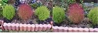 コキア2品種? 8月にコキアの苗(当初20cm程度)を3本購入し庭先に植え付けました。  そのうち1本のコキアだけ、赤っぽい幹?が伸び始めました。 そして9月後半から徐々に全体に赤くなり始 め、現在写真のような状態です。  なぜ同じ物を購入したのに1本だけ色が変化(紅葉?)したのでしょうか?  (ちなみに、購入前に、コキアは縦に伸びるタイプと丸くなるタイプがあると知り、 購...