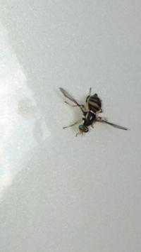 この虫は何ですか? ハエ?ハチ?羽アリ?