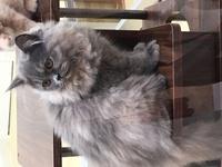 これはペルシャ猫で合ってますか?また色は何の種類で何色になりますか?