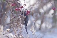 この赤い実のなっている植物の名前を教えてください 撮影場所…長野県東部 地域の公園 撮影日時…1月11日AM ヒヨドリが食べている赤い実のなっているつる植物? の名前を教えてください。 宜しくお願いします。