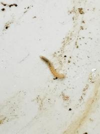 観葉植物の鉢受けに小さなイモムシがたくさんいました。駆除の方法を探したいのですが、虫の名前がわかりません。写真見てわかる方教えてください。