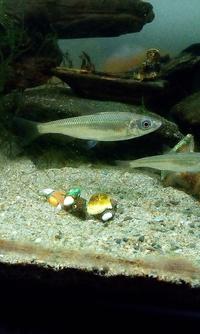 この魚の正体は? 一年くらい前に稚魚の状態で捕まえて、60cm上部濾過水槽にドジョウ類と混泳させている魚です。 用水路とかではなく、普通の河川にいました。 その川に住む主な生物が描かれた看板がありまして、そこに描いてある中で形が近いのは、オイカワ・カワムツ・タモロコでした。 しかし、素人なので、その三種のうちどれかの幼魚なのか、それとは別の幼魚もしくは成魚なのかいまいちよくわかりません...
