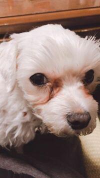 愛犬です 目やに?が原因で毛に色がつきました。どうしたら治るでしょうか? また、ならないようにするにはどうしたらいいでしょうか?