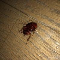 帰宅したら部屋にゴキブリみたいな虫がいました。 この虫はなんですか? 大きさは3センチくらいで、ゴキブリにしては丸い感じです。赤茶色で翅がありません。 翅がないということは、家で繁 殖しているんでしょうか...怖  中性洗剤をかけまくって動きを止めました。写真の液体は中性洗剤です。