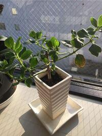 植物の名前について質問です。 こちらの植物の名前を教えてください。  大きさはさほど大きくなく、葉は少し肉厚です。 上に伸びて行く植物のようで、現在は枝を切り横から枝が出ている状態です。