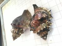 貝の名前を教えて下さい! 画像の貝が大量に取れました! 名前がわかる方宜しくお願い致します。