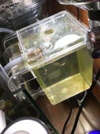 質問です! グッピーの稚魚の産卵箱を金魚を同じ水槽にかけても大丈夫ですか?