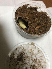パプアキンイロクワガタが蛹になりました。成虫まであとどれぐらいかかりますか?