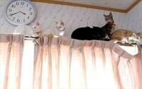 猫はカーテンレールに登る悪い生き物ですか? (ФωФ)