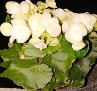 母の日に貰ったのですが 花の名前が分からず 育て方、管理方法がわかりません。 花の名前が分かりますでしょうか? よろしくお願いします。