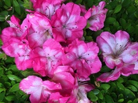 この花はサツキとツツジのどちらですか?今咲いてるということはサツキでしょうか?花の咲き方や大きさがツツジのようにも見えますし教えてください。