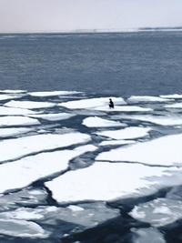 この流氷の上にいる鳥の名前を教えて下さい。  撮影地は紋別です。 はっきり映ってなくてわかりにくいですが、 判別できますでしょうか。