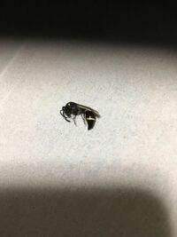 家の中にいたのですが、これはなんという虫かわかる方いれば、教えてください。 黒色にラインの様な所は黄色です 体長は1.5センチ程です。