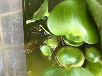 メダカの水槽の中にタニシみたいな貝がいるのですが、これって取り除いたほうがいいののですか?教えてください。