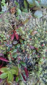 これはなんでしょうか? 昨日一日家を空けて。先ほど帰ってみるとこんなものが蔓延っていました。  セダムも死んでしまいそうです。  蜘蛛の巣にしては細かすぎるし、すぐ横に紫陽花がたくさん茂っているのですが、ナメクジ等の薬は散布しているし・・。  他にも鉢植えローズマリーの根本に生えているセダムにも同じようなものがありました。  虫でしょうか?  どう対処すればいいでしょう?...