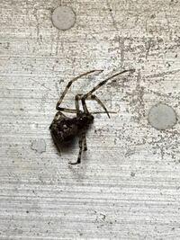 ベランダのプランターにいた蜘蛛について。 家庭菜園のプランターの取っ手?のへこみにいたお腹が大きくて足が細く長めの蜘蛛が何匹かいました。 写真が見辛くて申し訳ないのですが、なんという蜘蛛かわかる方が...