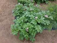 5月上旬にジャガイモ種芋を植えて芽が出て から間引きしたものを人参の畝に挿していた ら芽が伸び花が咲きました。土の中ではどう なっていますか?