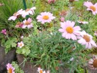 この花の名前を教えてください。 6月のいまの時期咲いている花です。 サイズ的にはノースポールくらいです。