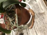 胡蝶蘭の植え替えをしたいのですが、根が鉢の外まで伸びています。 胡蝶蘭は空気を好むので、水苔の中に押し込まないほうがいいのはわかるのですが、根を整理するために切っても良いのでしょう か。 伸びすぎて...