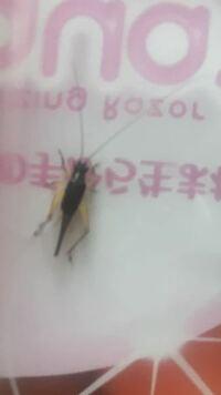 この虫コオロギですか? 小さくて胴体が黒く足が茶色っぽいです。 初めて見たもので携帯で調べて見たけど分かりませんでした。