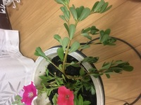 ペチュニアを育てていたら根元から得体の知れない植物が?茎も葉も分厚いのですが、横に伸びて葉もタテに閉じたままです。何の植物か、どなたか教えて頂けませんか?