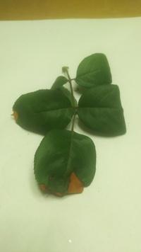 バラの葉が茶色になり枯れそうです。 何と言う病気ですか 薬剤は何がよいですか HTのブルームーン 北海道で庭植えです。 屋根がかかっているのでしとしと雨では雨がかかりません。