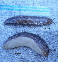 【謎の生物】 今朝(8/19)、自宅駐車場で添付写真の虫? を見つけました。 (写真は表(上部)からと、腹部側を合成しています。)  長さは11~12cm、胴回りの直径は1.5cmくらいです。 一見、大きな「殻な...