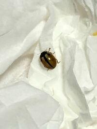 虫の画像ですので苦手な方閲覧注意です。 この虫分かる人いますか? 家の中にいたのですがいくら調べても出てきません。 害虫かどうか等も教えて頂けたら幸いです