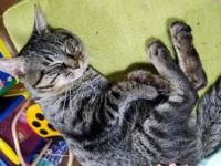 こちらの猫はキジトラですか? 飼い猫です、知人から頂いてずっと飼ってますが恥ずかしいことに種類がわからない状態です 詳しい方教えてください!!