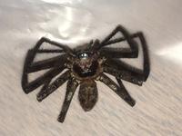 この蜘蛛は有害ですか?   お食事中の方申し訳ありません。  書斎部屋に全長10cmほどの蜘蛛が出ました… 巣もなく、どこからともなく現れてきたのでビックリしました。  この写真の蜘蛛 は有毒・有害な蜘蛛でしょうか? また群やつがいなど複数匹いる可能性はありますか? 生物・虫に詳しい方お願いします。  【足の端から端まで広げると10cmを超えるくらいです】