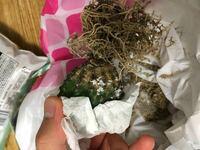 数日前に購入したサボテンの植え替えをしようとしたら根元が茶色変色してました。これは根腐れでしょうか?