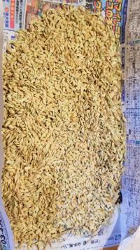 効率的な籾すりの方法について教えてください。バケツ稲でコシヒカリを栽培しています。本日、割り箸を使って脱穀をしたら2合分位の量の米が収穫できました。問題は次の行程の籾すりをどうしようかと悩んでします。 オススメの方法は有りますか?