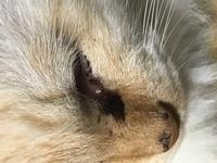 猫の黒いシミのようなものについて教えて下さい。 数日前から目ヤニが出るところに黒い点がありました。最初は目ヤニかと思っており取ってたのですが、段々と大きくなり現在このような感じとな ってます。 かか...