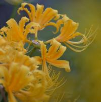 この花は彼岸花ですか?リコリスでしょうか?