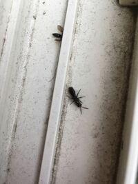 羽アリ?について 1ヶ月くらい前から家の庭の木に、写真のような黒い少し大きめの羽アリが群がるようになりました。 その木だけなのですが、結構大量です。 アリの殺虫剤を撒いてもまた次の日にはついてます。  ...